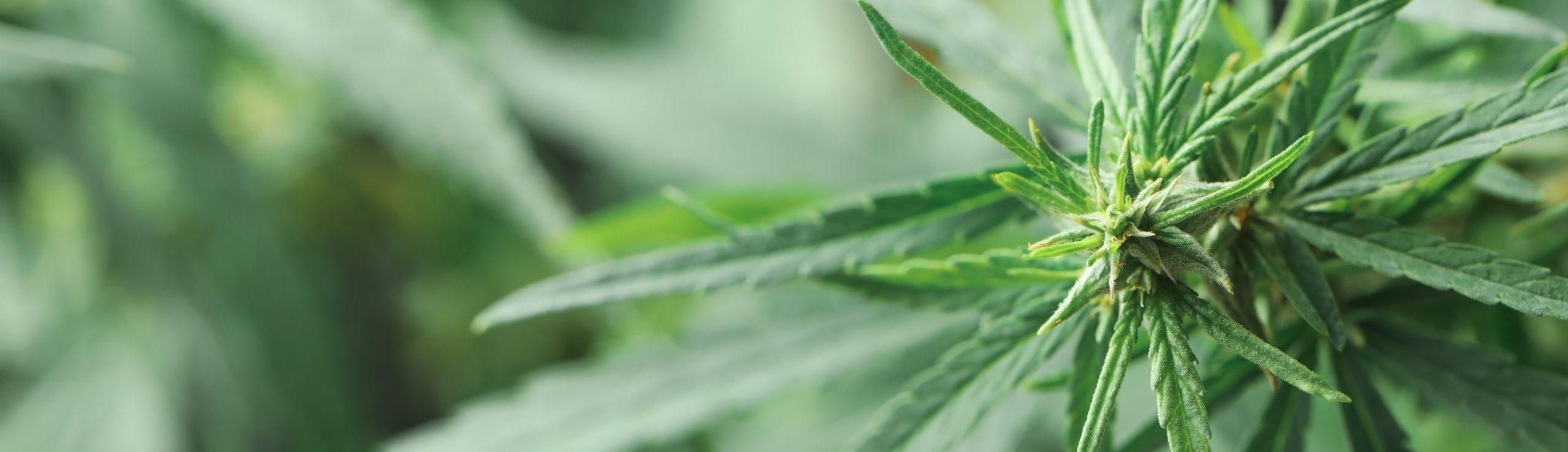 Medical Mariijuana
